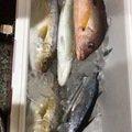 スノーさんの高知県香南市での釣果写真