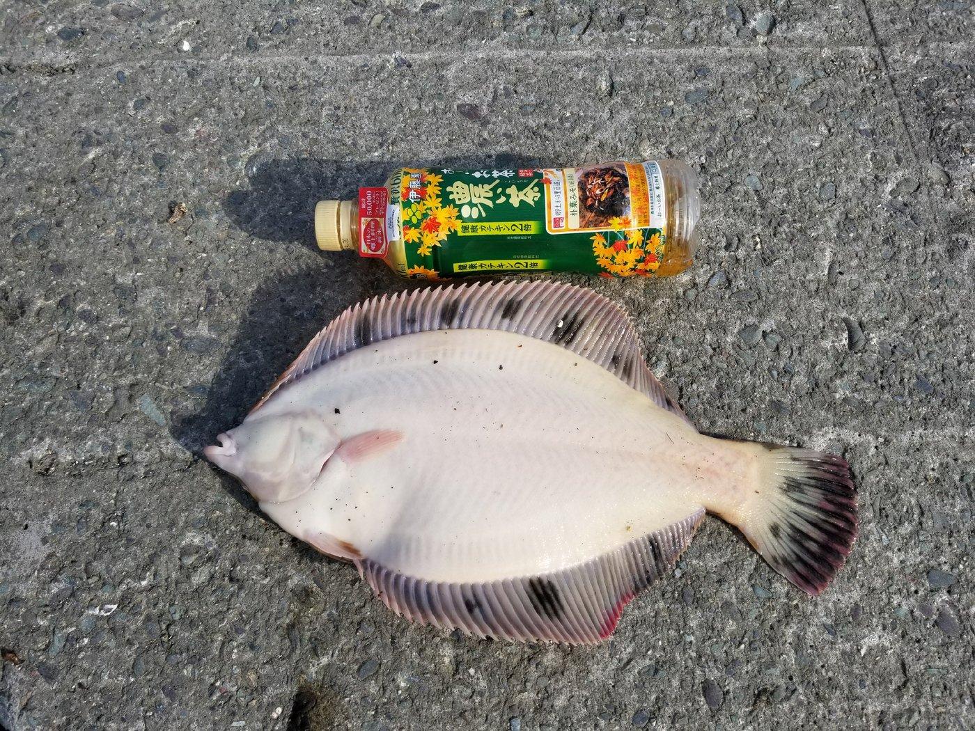 しもちんさんの投稿画像,写っている魚はクロガレイ