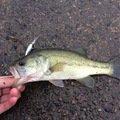 じょうマジェさんの千葉県野田市での釣果写真