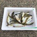 せっきーさんの新潟県糸魚川市での釣果写真