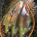 桜鱒さんのヒメマスの釣果写真