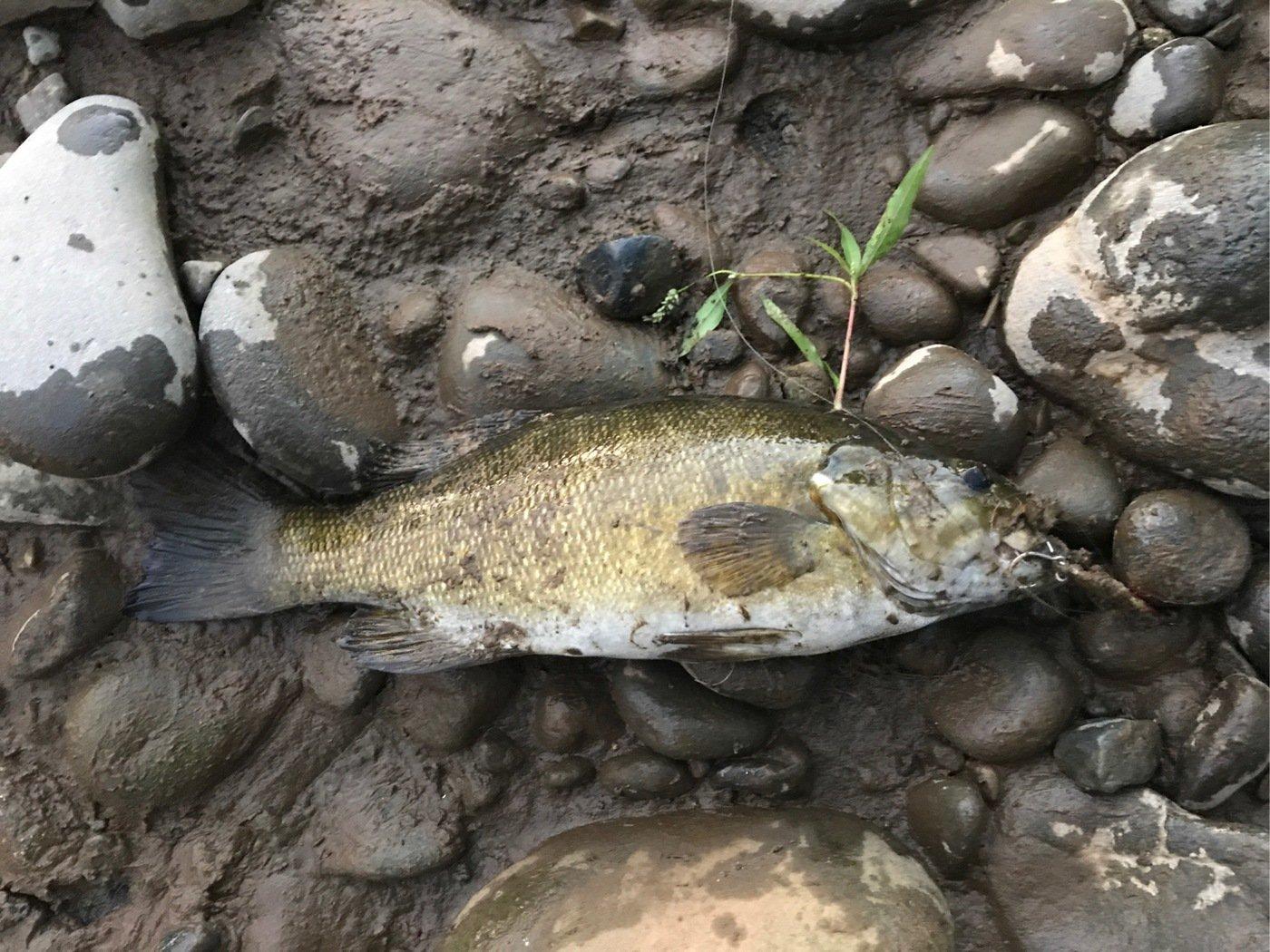 北斗七星さんの投稿画像,写っている魚はスモールマウスバス