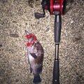 SHOKIさんの岩手県でのキツネメバルの釣果写真