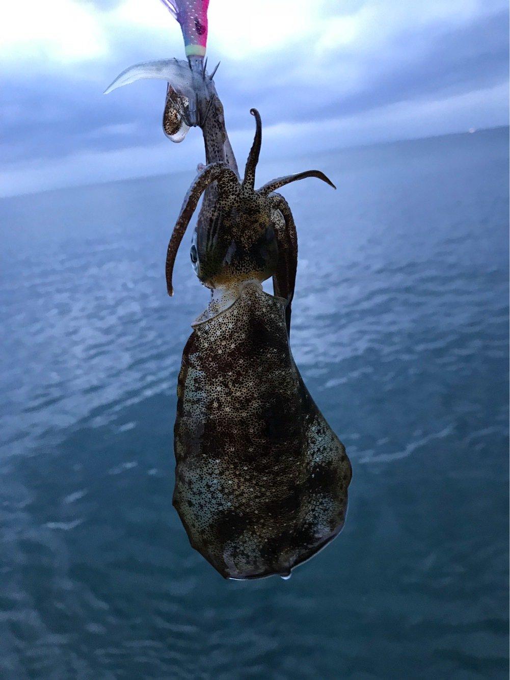ただし。さんの投稿画像,写っている魚はアオリイカ