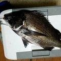 さかなクンさんの神奈川県相模原市での釣果写真