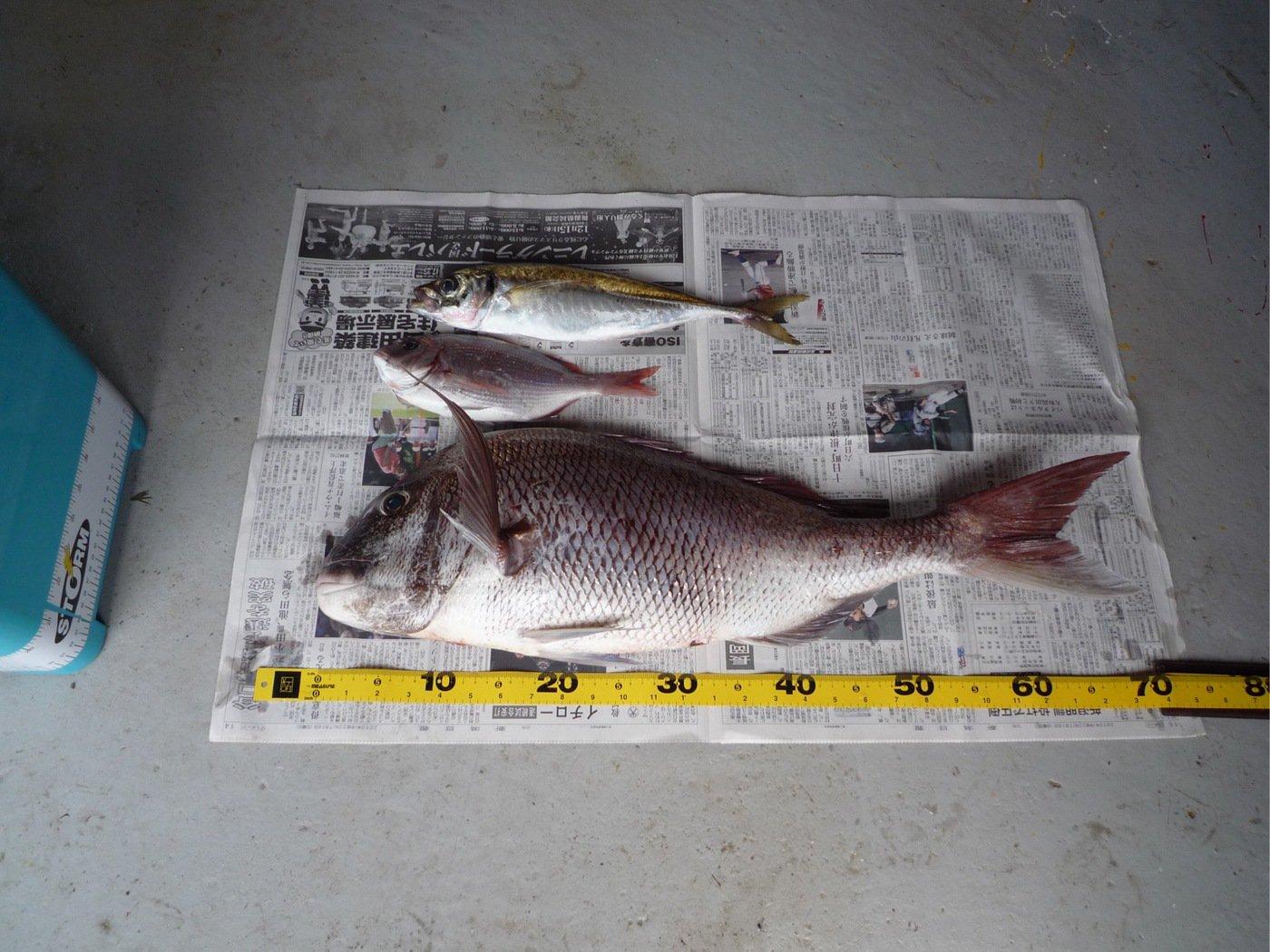 もぐもぐさんの投稿画像,写っている魚はマダイ