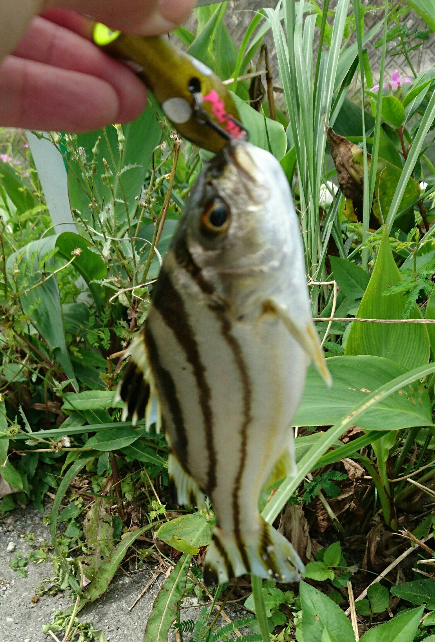 Megさんの投稿画像,写っている魚はコトヒキ