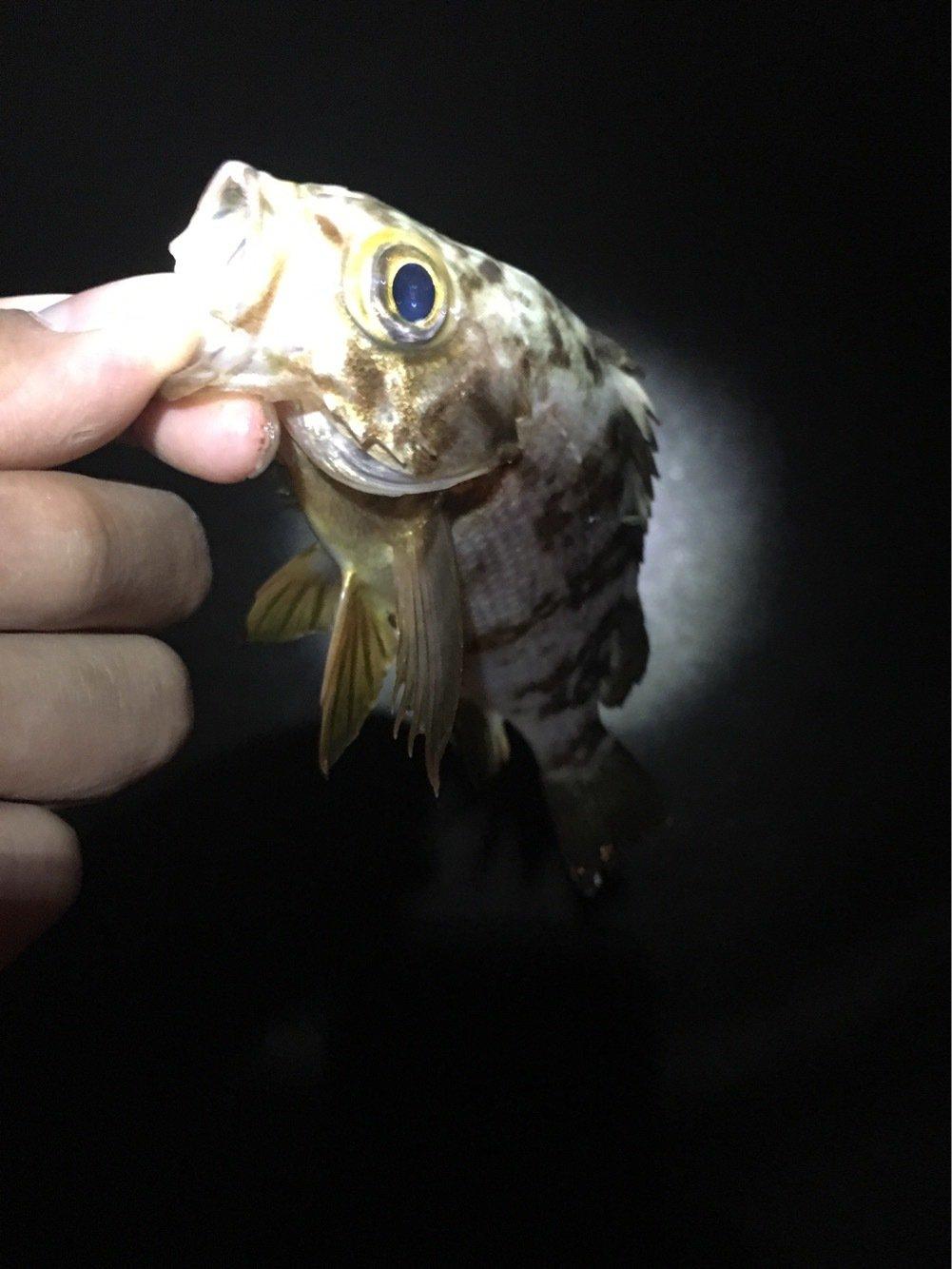 佐藤 勇登さんの投稿画像,写っている魚はシロメバル