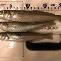 しまさんの千葉県富津市でのシロギスの釣果写真