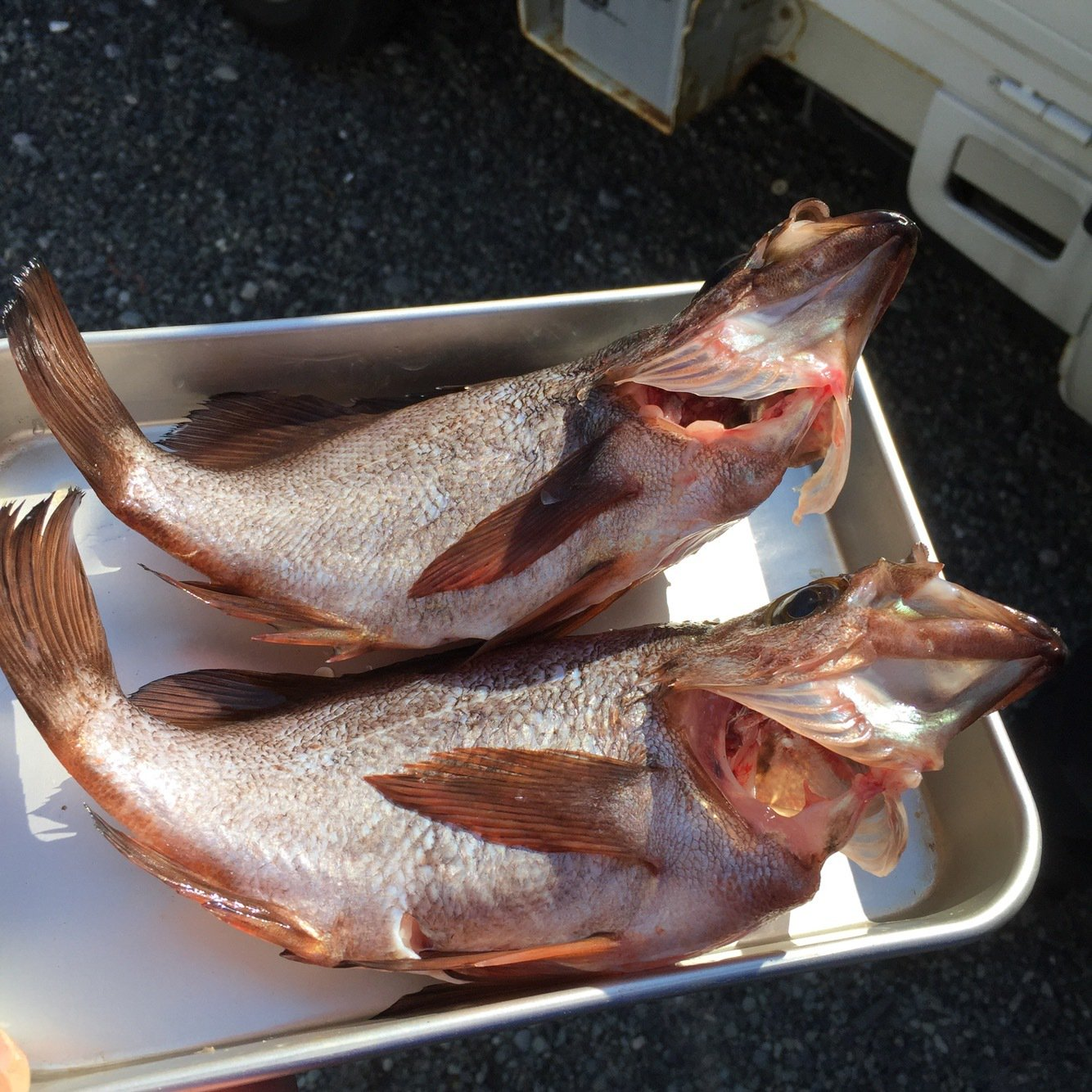 エースさんの投稿画像,写っている魚はメバル