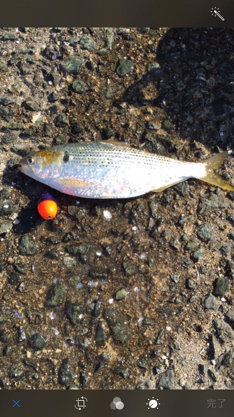 takashiさんの投稿画像,写っている魚はコノシロ