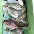 だうえさんの静岡県焼津市でのキチヌの釣果写真