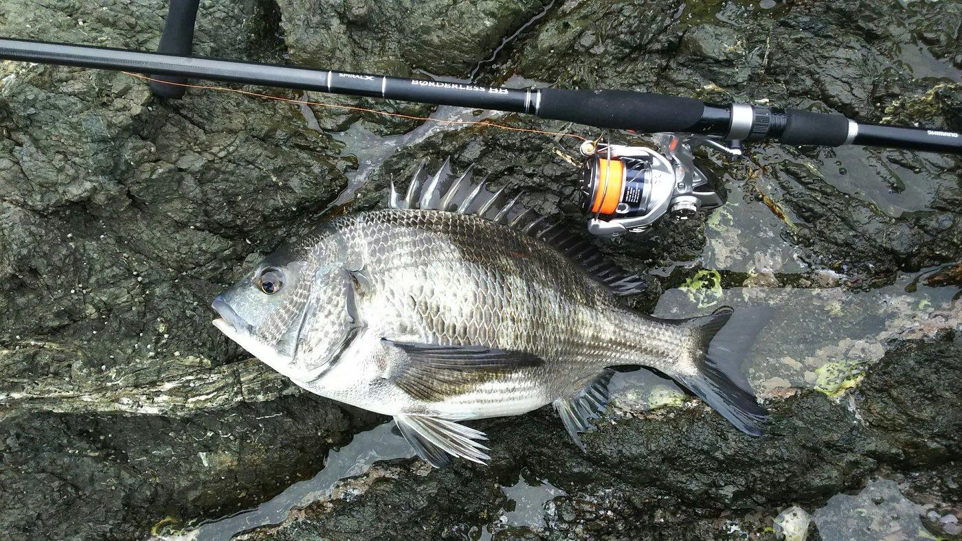 かずくんさんの投稿画像,写っている魚はクロダイ