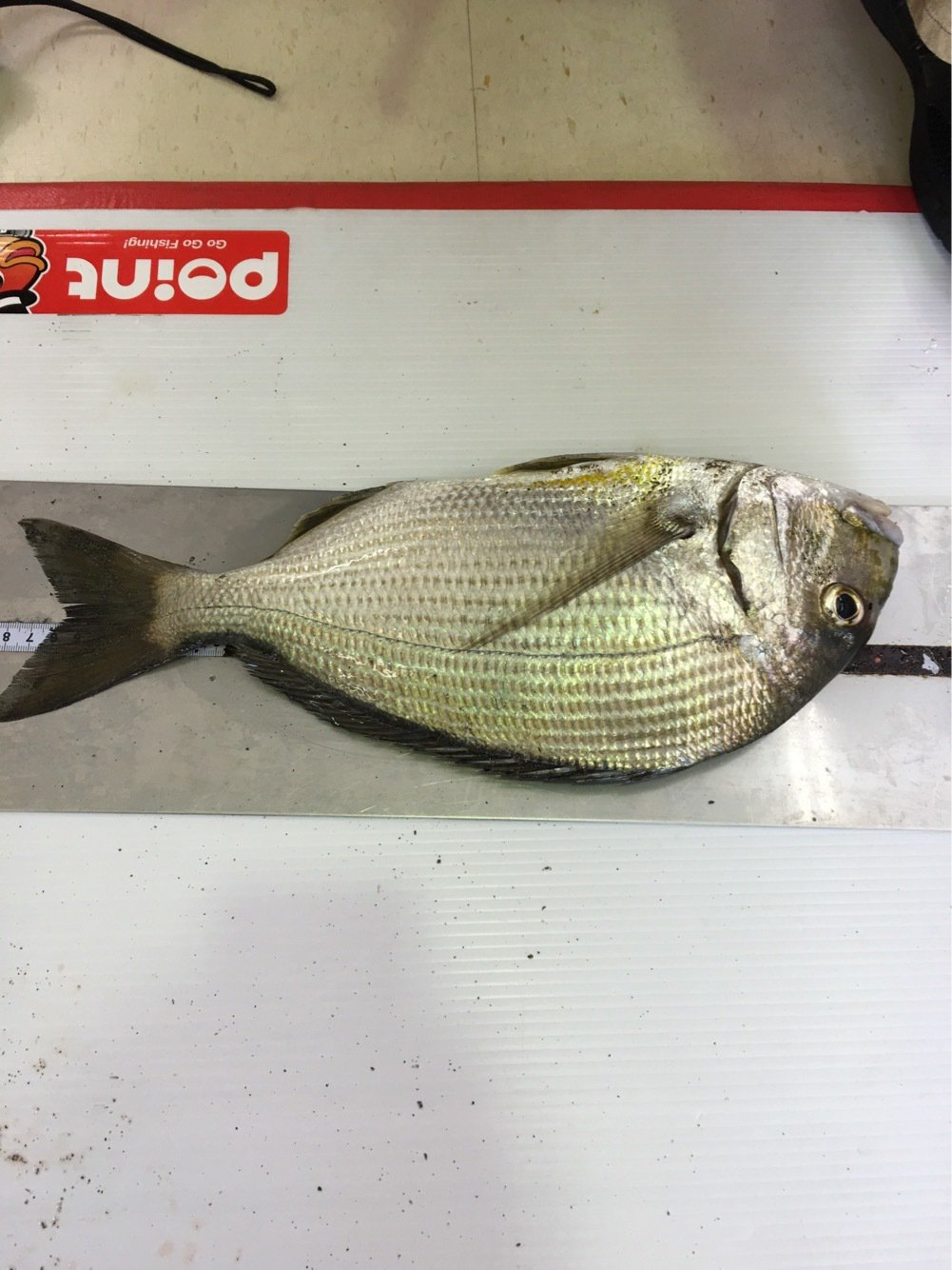 たか号さんの投稿画像,写っている魚はヘダイ