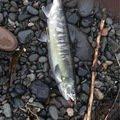 たかちんさんの北海道目梨郡での釣果写真