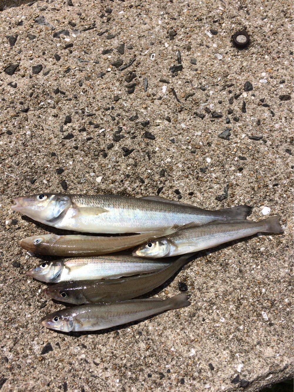 MOKOさんの投稿画像,写っている魚はシロギス