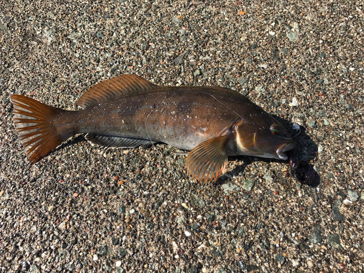 ともさんの投稿画像,写っている魚はアイナメ