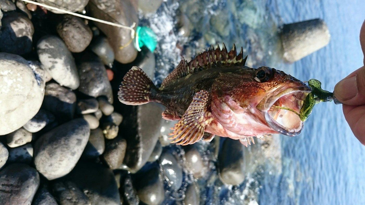 alleyさんの投稿画像,写っている魚はアカカサゴ