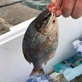 まゆさんの千葉県でのウミタナゴの釣果写真