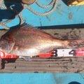 ユリさんの広島県尾道市でのマダイの釣果写真