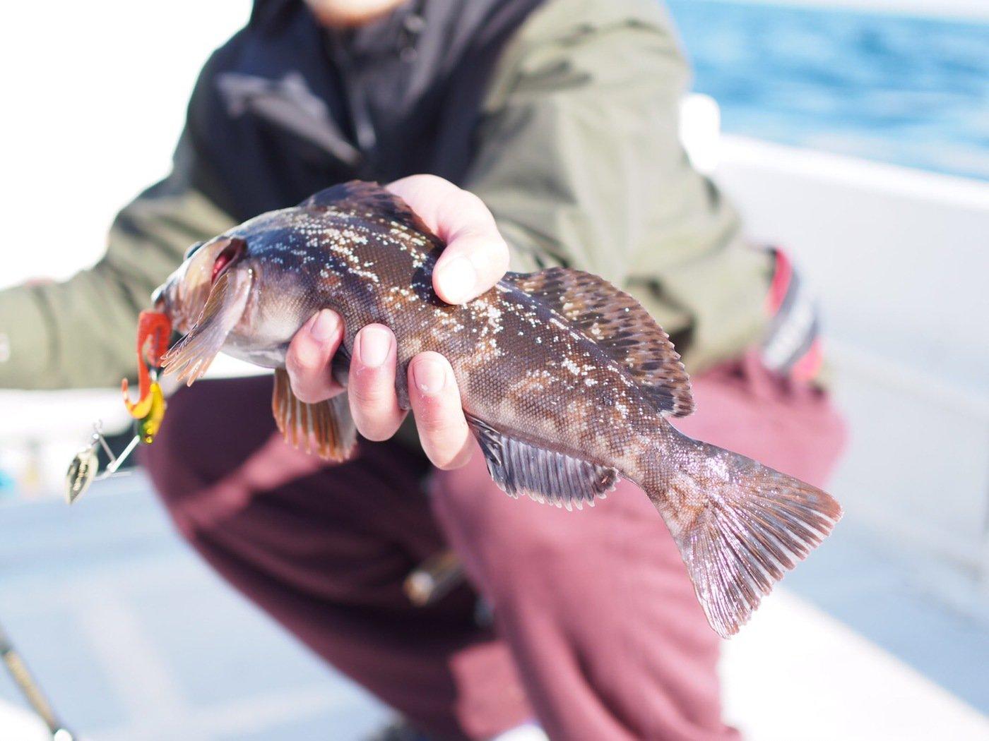 tatsukiさんの投稿画像,写っている魚はアイナメ