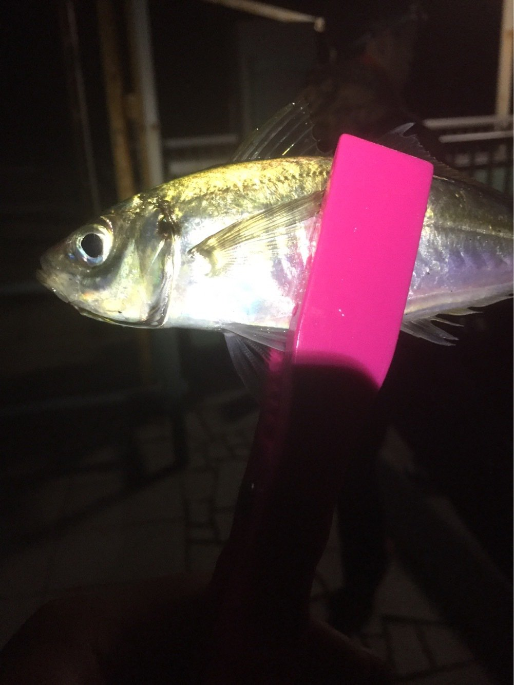 ひろんさんの投稿画像,写っている魚はアジ