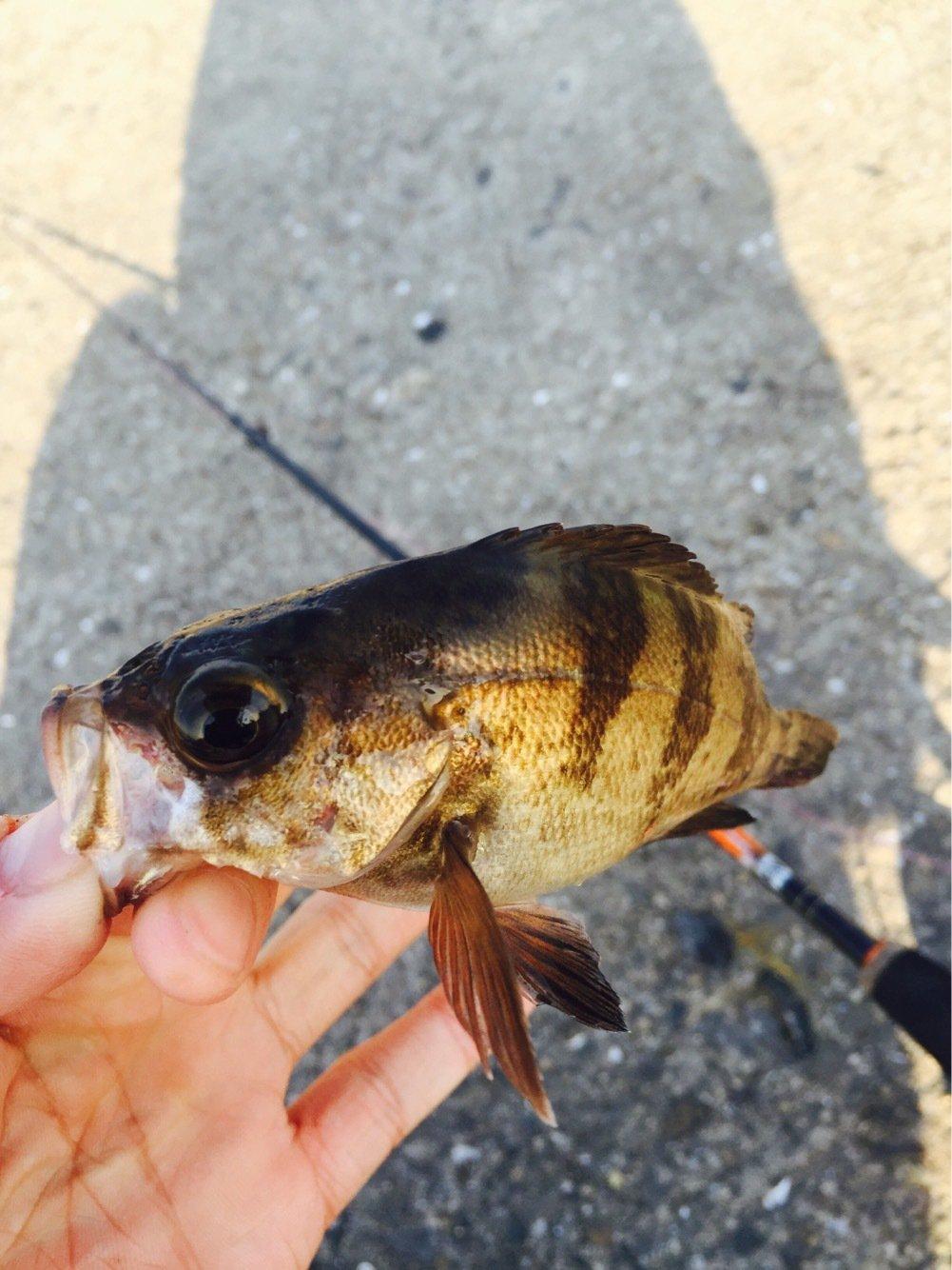 .Kさんの投稿画像,写っている魚はアカメバル