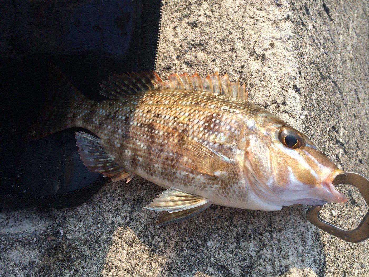 yamachaaanさんの投稿画像,写っている魚はハマフエフキダイ
