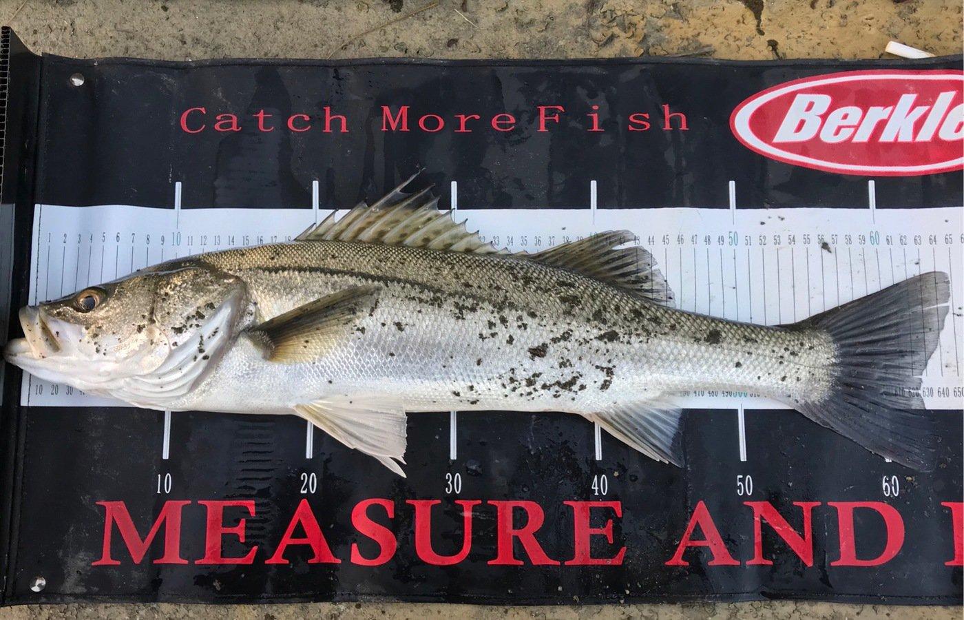 れんさんの投稿画像,写っている魚はスズキ