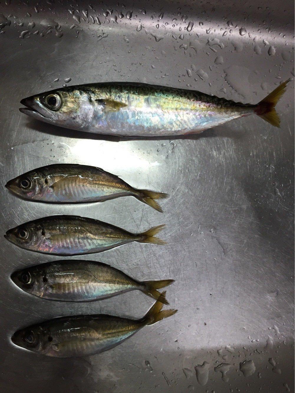 まりこさんの投稿画像,写っている魚はマサバ