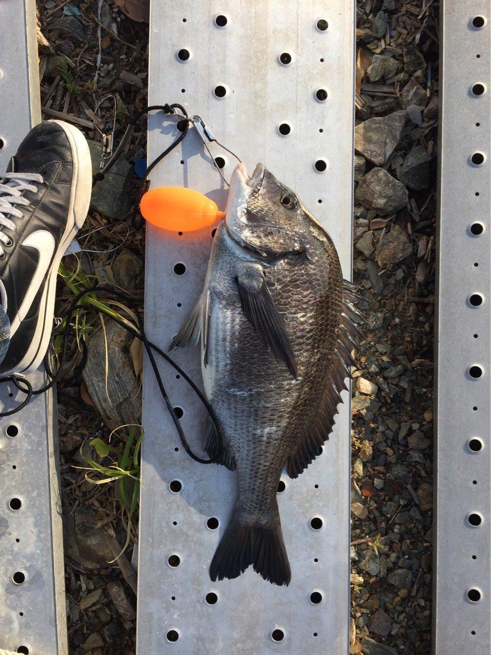 ゴン太さんの投稿画像,写っている魚はクロダイ