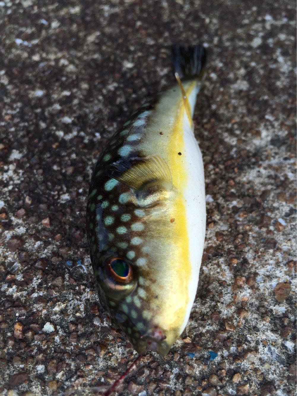 sJimさんの投稿画像,写っている魚はクサフグ