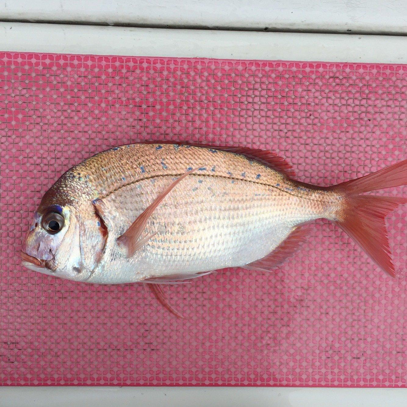 shun Todaさんの投稿画像,写っている魚はヤリイカ