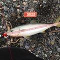 もっちさんの新潟県十日町市での釣果写真