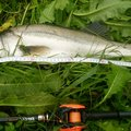 まぁさんの千葉県印旛郡での釣果写真