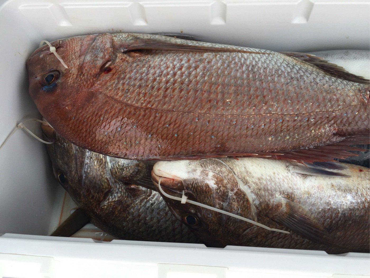 ひろさんの投稿画像,写っている魚はマダイ