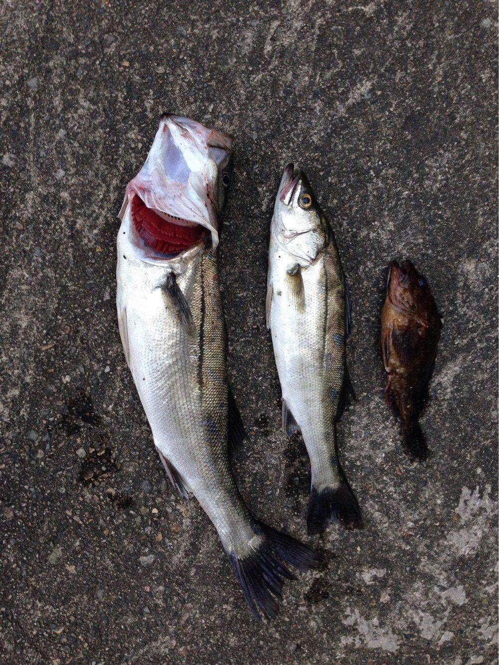 カッキーさんの投稿画像,写っている魚はスズキ