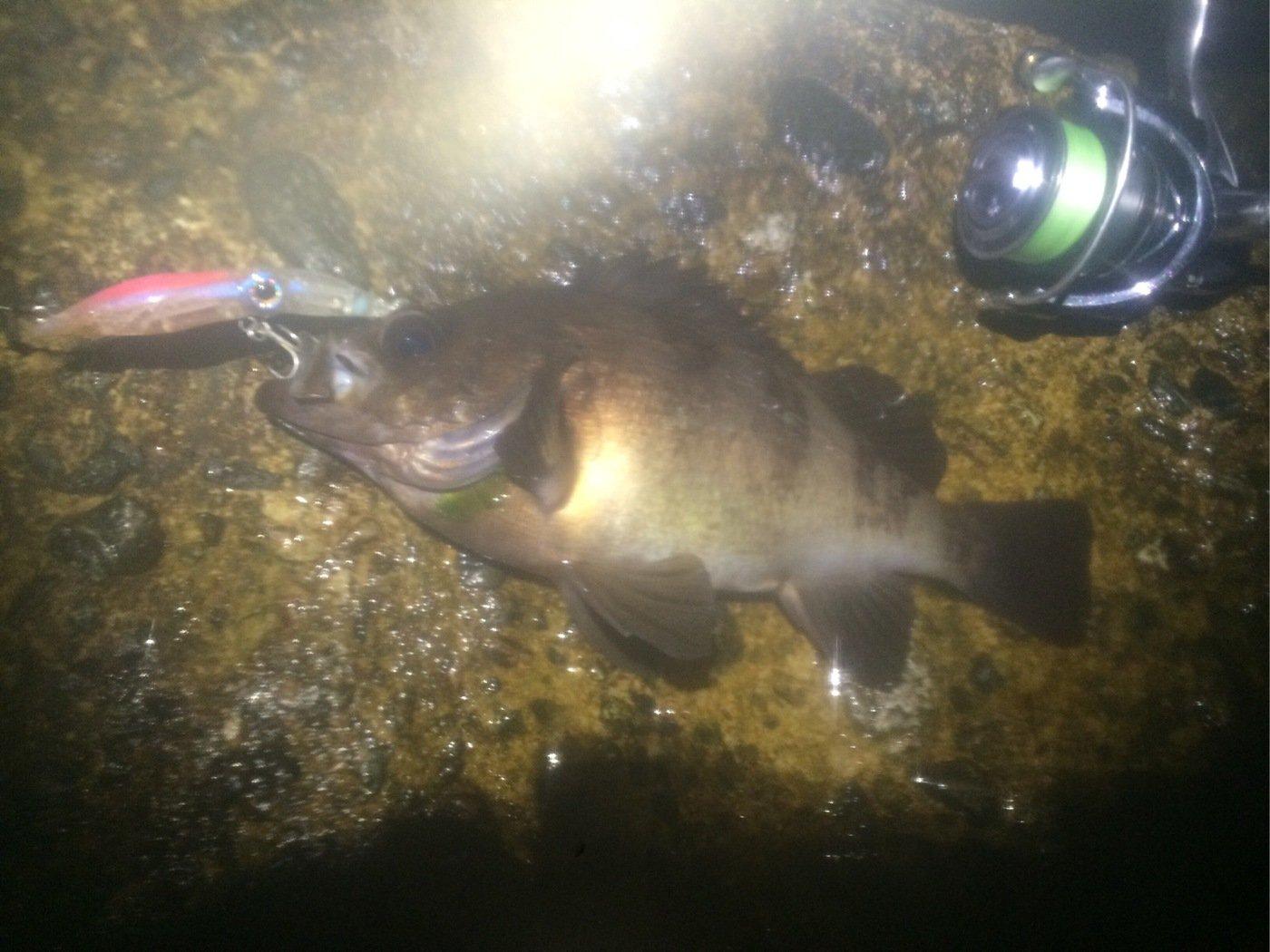 マサヒコさんの投稿画像,写っている魚はメバル