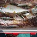 溝渕政文さんの高知県香南市での釣果写真