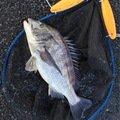 YDさんの大分県佐伯市でのクロダイの釣果写真