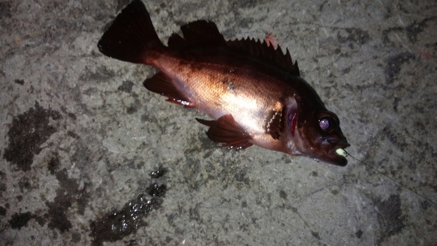 こーさんさんの投稿画像,写っている魚はシロメバル