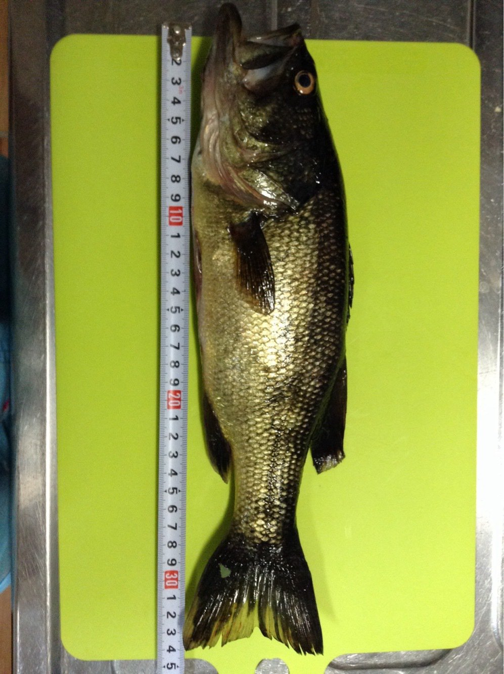 ギルプロさんの投稿画像,写っている魚はブラックバス