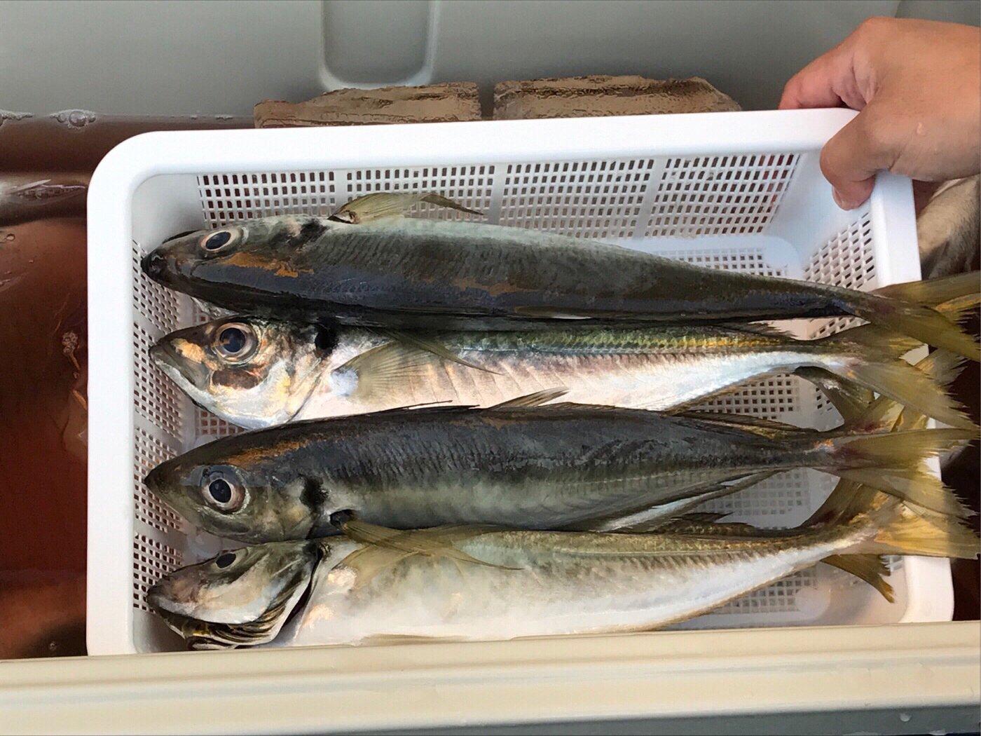 ひでさんの投稿画像,写っている魚はアジ