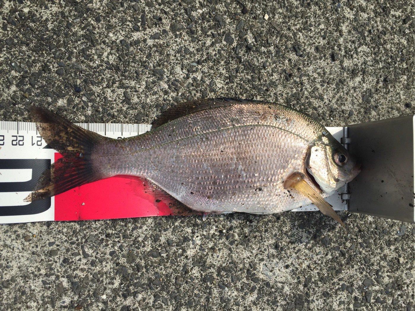 さわさんの投稿画像,写っている魚はウミタナゴ