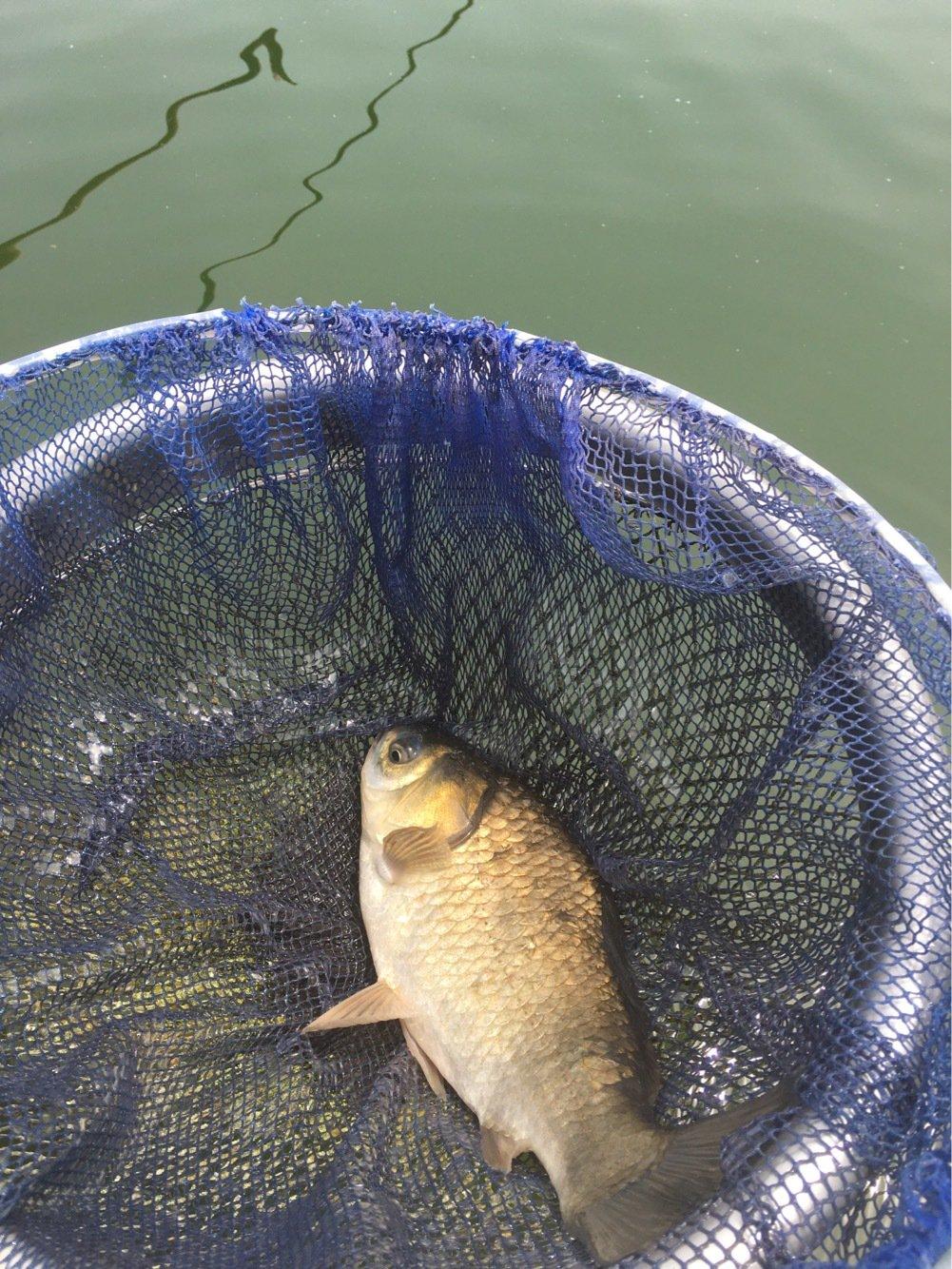 たけ千代さんの投稿画像,写っている魚はヘラブナ