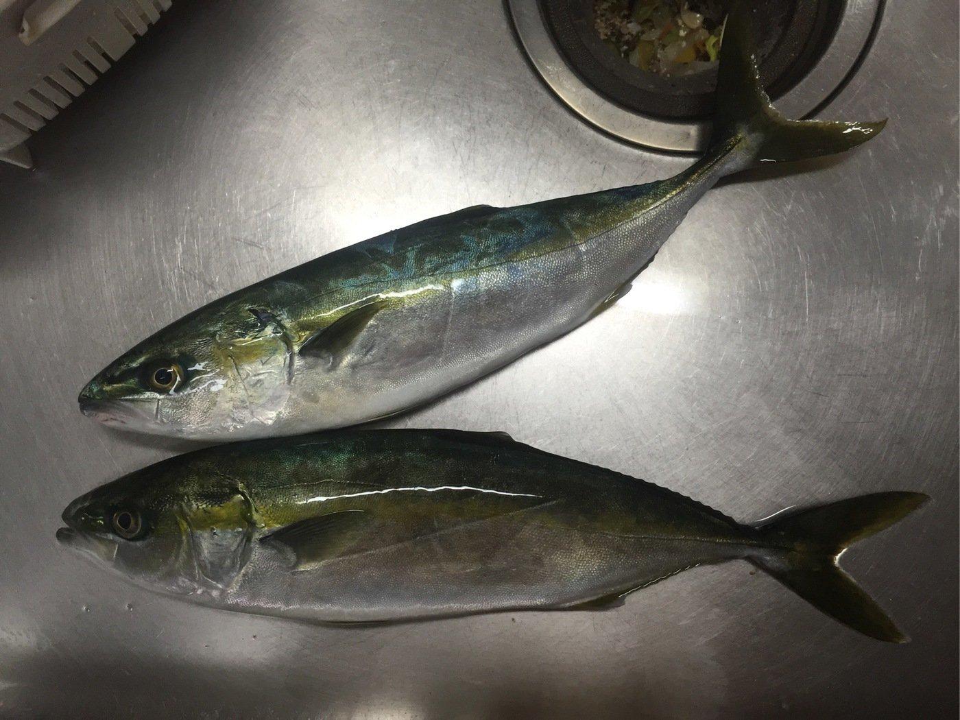たかまっちゃんさんの投稿画像,写っている魚はブリ