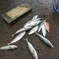 金(きん)さんの千葉県東金市での釣果写真