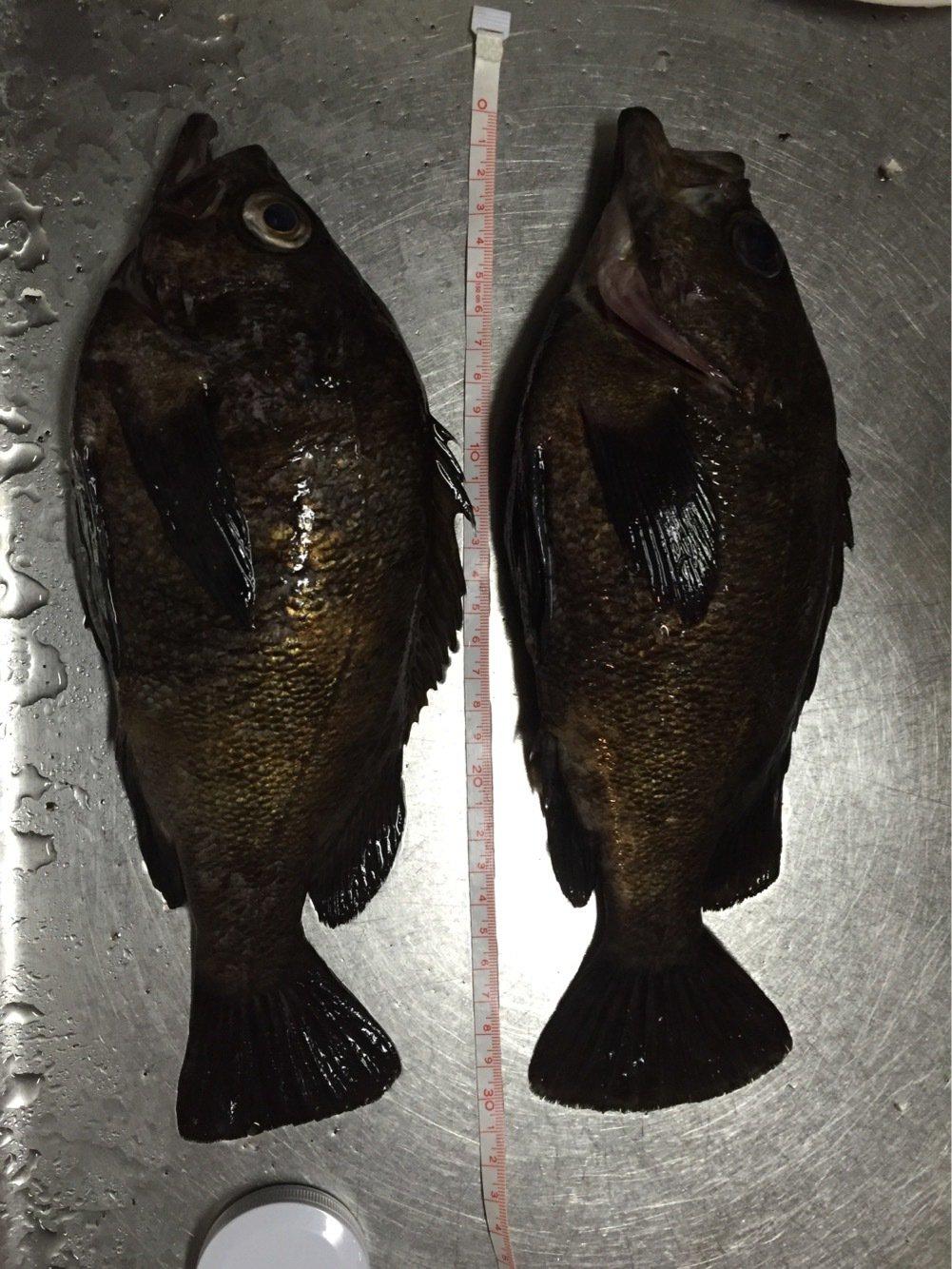 やす5さんの投稿画像,写っている魚はメバル
