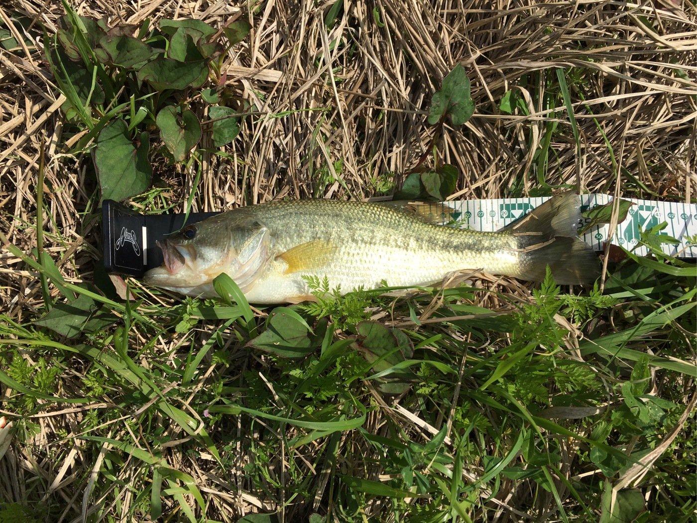 パパダスさんの投稿画像,写っている魚はブラックバス