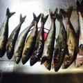 まいまいさんの北海道岩内郡でのホッケの釣果写真